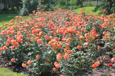 Фото Розы в Курортном парке Кисловодска. Долина Роз