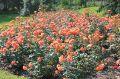 Розы в Курортном парке Кисловодска. Долина Роз